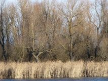 Late autumn on the river. Landscape of the river in late autumn. Cane and trees stock photography