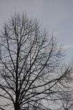 Late autumn tree in the early morning Royalty Free Stock Photo