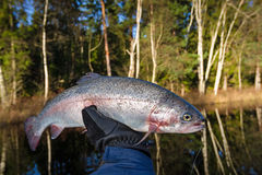 Late autumn trout trophy. In angler hand royalty free stock images