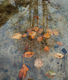 Late autumn underfoot. Yellow leaves and reflection of a tree without leaves in a puddle royalty free stock photography