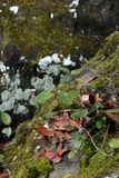 Moss covered rock with vine. Royalty Free Stock Photos