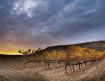 Late autumn in the vineyard. Stock Photography