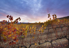 Late autumn in the vineyard. Stock Images