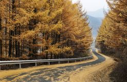Late autumn yellow. Deep in the mountains and winding roads, late autumn the leaves on the trees a piece of golden color, you`ve got a great view royalty free stock images