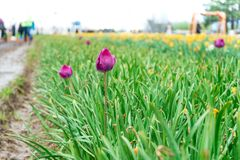 Late blooming tulip in a flower field at a tulip festival, with a muddy walkway for tourists. Real farm growing tulips royalty free stock photo