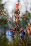 Late Blueberry. Blueberries are flowering plants of the genus Vaccinium (a genus which also includes cranberries and bilberries) with dark-blue berries and is a Royalty Free Stock Images