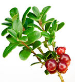 Late cowberry. Royalty Free Stock Image