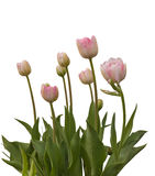 Late  double tulips Royalty Free Stock Photo