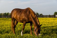 Thoroughbred Horse on Farm - Bluegrass - Central Kentucky. A late evening view of a thoroughbred horse on a scenic farm filled with flowers in the Bluegrass Stock Photography