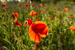 Late evening vivid red poppy field scene Royalty Free Stock Image