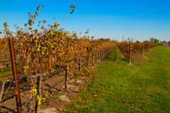 Late Fall vineyard Stock Photo