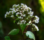 Late Flowering Boneset stock image