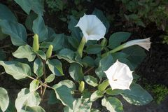 Late flowers of Datura innoxia. In October stock images