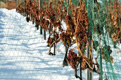 Late grape harvest in snow Royalty Free Stock Images