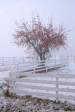 Late Harvest. Apple tree on a foggy day in winter Royalty Free Stock Photo