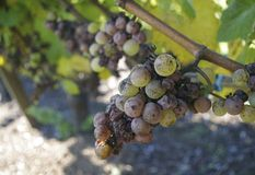 Late Harvest. Fall time means the Pinot Gris awaits Royalty Free Stock Images