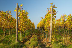 Late harvest vines Stock Image