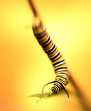 Late Instar Monarch Butterfly caterpillar Royalty Free Stock Images