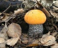 Late mushroom Royalty Free Stock Photography