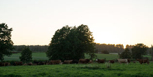 Late Night Cows. In south Norway stock image