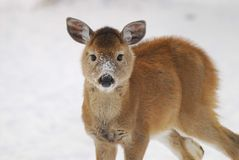 Deer. This little guy was born two months later then the norm for Michigan Royalty Free Stock Image