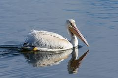 American White Pelican swimming in a clear blue lake. Late season white pelican enjoying his favorite blue lake before the Autumn migration Royalty Free Stock Photo