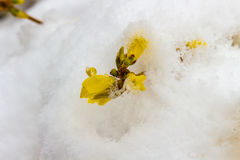 Late snow on blooming yellow forsythia Royalty Free Stock Photography