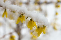 Late snow on blooming yellow forsythia Royalty Free Stock Image