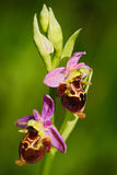 Late Spider Orchid, Ophrys holosericea, flowering European terrestrial wild orchid, nature habitat, detail of bloom, violetclear b Royalty Free Stock Photography