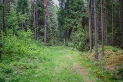 Path in a dense coniferous forest Stock Photography