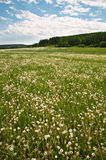 Late Spring Landscape. Landscape covered with white dandelions in the late spring afternoon royalty free stock photos