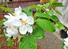 Late Spring Raindrops on Fuji Apple Malus Pumila Tree Blossoms. Late Spring rainfall during the night has left droplets all over some blossoms and leaves on a stock image
