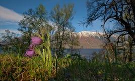 Late spring on the shore of lake Teletskoye. royalty free stock image