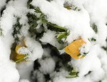 Late Spring Snow. Covers blooming flowers Stock Photo