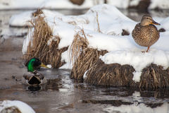 Late Spring Snow. A male mallard watches over a female mallard as she rests in the snow Royalty Free Stock Photos