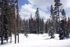Late spring snow on pine forest Royalty Free Stock Images