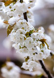 Late spring snowfall Royalty Free Stock Images