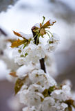 Late spring snowfall Royalty Free Stock Photos