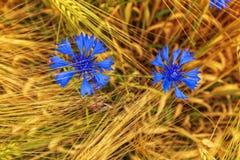 Late springtime, blue cornflowers, unique shape. Late springtime, blue cornflowers together with grain form unique shapes, nature shows her beauty royalty free stock photo