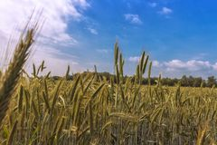 Late springtime, the grain is growing. And you can smell the summertime royalty free stock photos