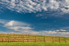Late Summer Corn Crop Under Puffy White Clouds Stock Photography