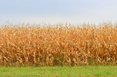 Late summer corn field Stock Photography