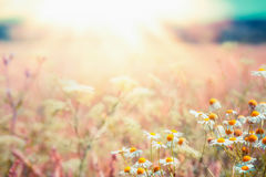 Late summer country landscape with daisies meadow and sunbeam, Beautiful summer outdoor royalty free stock photos