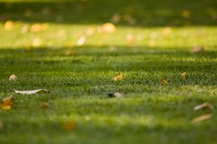 Late summer - early autumn fallen yellow leaves on trimmed green grass with beautiful shadows of trees royalty free stock images