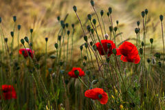 Late summer field. Wild field with papaver flowers. Photography of nature Royalty Free Stock Images