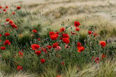 Free Late Summer Field With Poppy Papaver Flowers Stock Photo - 118075320