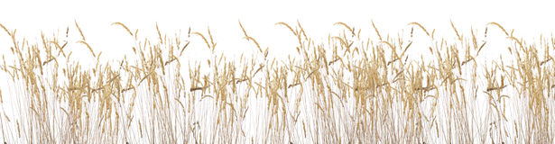 Late summer grass. Isolated onr white background royalty free stock image