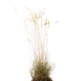 Late summer grass. Isolated onr white background royalty free stock images