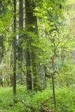 Late summer natural forest. Late summer natural mostly deciduous forest with ypung linden tree in foreground Royalty Free Stock Photos