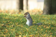 Late summer preparations of a squirrel. Caught this sceptical looking natural invader squirrel in a park in turin, italia. Looks like preparing for winter Royalty Free Stock Photos